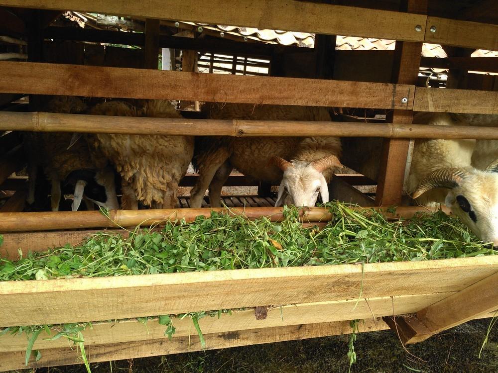 Bisnis jual beli kambing bergaransi di Bogor hubungi 0895-2186-8651