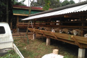 Harga kambing aqiqah di Lengkong Gudang Timur Tangsel hubungi 0895-2186-8651