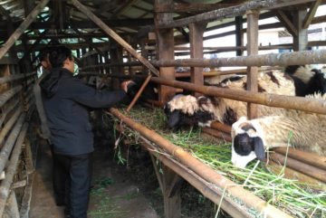 Harga kambing aqiqah 2018 di Pondok Cina Depok hubungi 0895-2186-8651