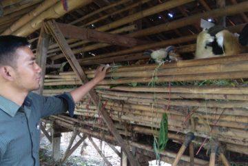 Kambing aqiqah harga murah berkualitas siap kirim di Sindangsari Bogor hubungi 0895-2186-8651