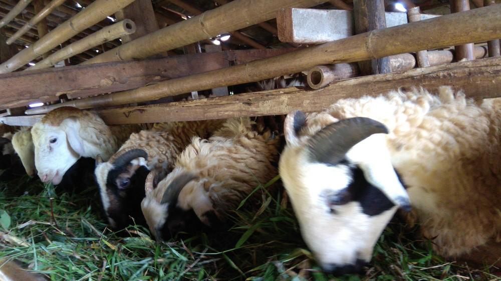 Harga paket aqiqah kambing murah siap kirim di Kebayoran Lama Utara Jakarta hubungi 0895-2186-8651