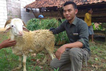 Harga kambing aqiqah 2018 di Jati Padang Jakarta hubungi 0895-2186-8651