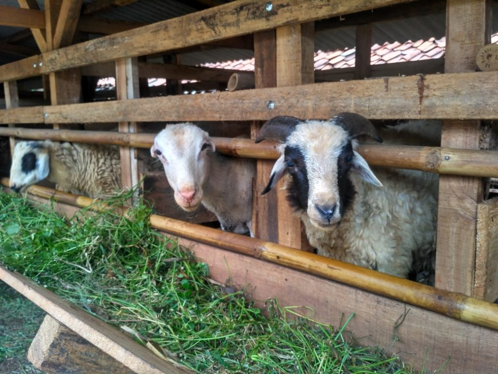 Jual kambing qurban 2018 murah berkualitas di MeruyungDepok hubungi 0895-2186-8651