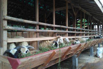 Peternakan kambing murah siap kirim di Pangkalan Jati Baru Depok hubungi 0895-2186-8651