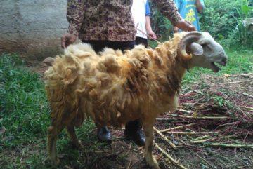 Harga kambing akikah murah berkualitas siap kirim di KrukutDepok hubungi 0895-2186-8651