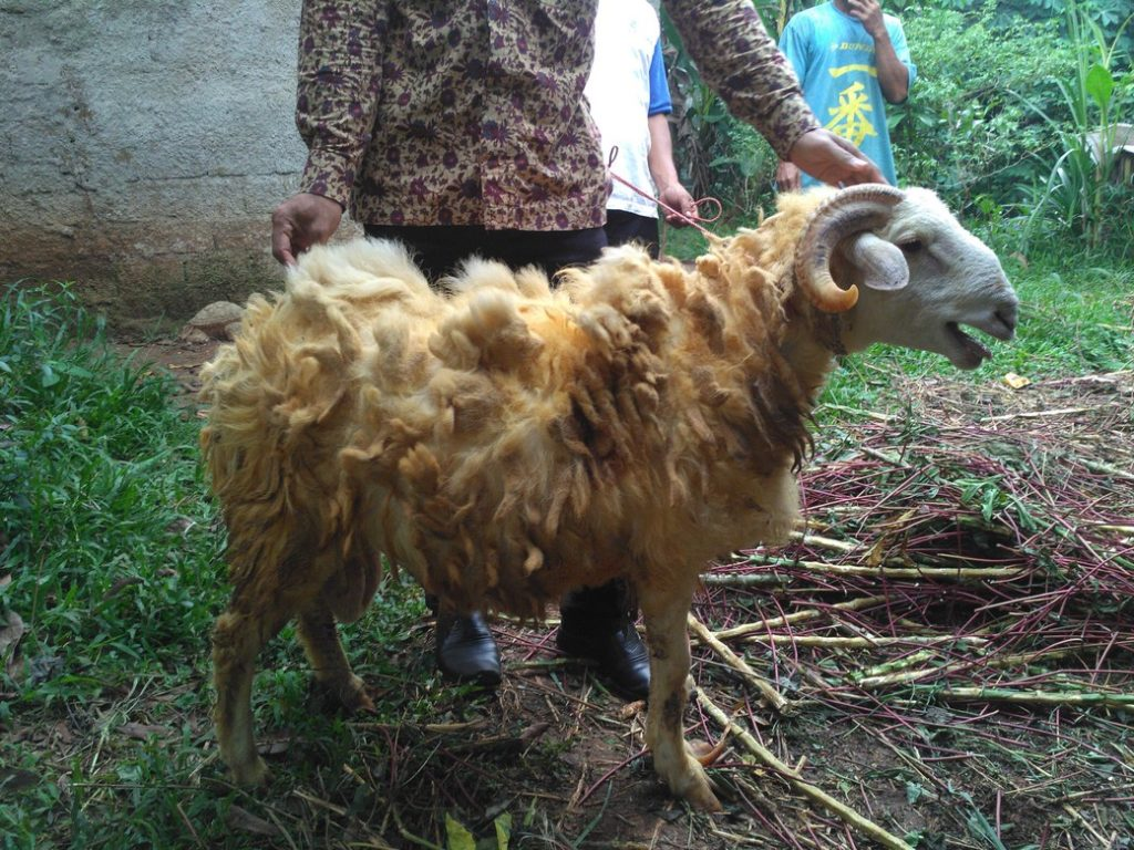 Harga kambing qurban 2018 murah berkualitas di Sukaresmi Bogor hubungi 0895-2186-8651