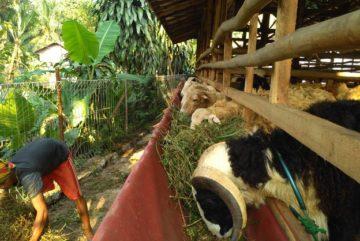 Harga hewan qurban 2018 di Karet Kuningan Jakarta hubungi 0895-2186-8651