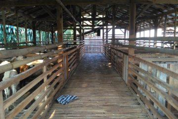 Kambing domba murah berkualitas siap kirim di Tajur Bogor hubungi 0895-2186-8651