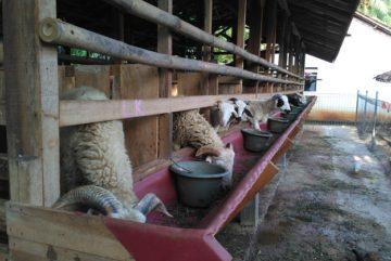Cari harga kambing aqiqah 2018 murah berkualitas di Sindangbarang Bogor hubungi 0895-2186-8651