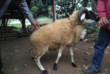 Harga kambing murah berkualitas siap kirim di Tanah Sareal Bogor hubungi 0895-2186-8651