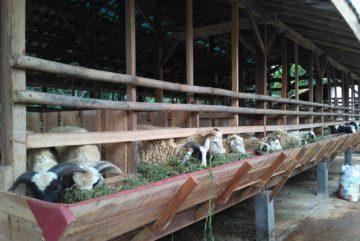 Supplier kambing murah berkualitas bergaransi di Rangkapanjaya Baru Depok hubungi 0895-2186-8651