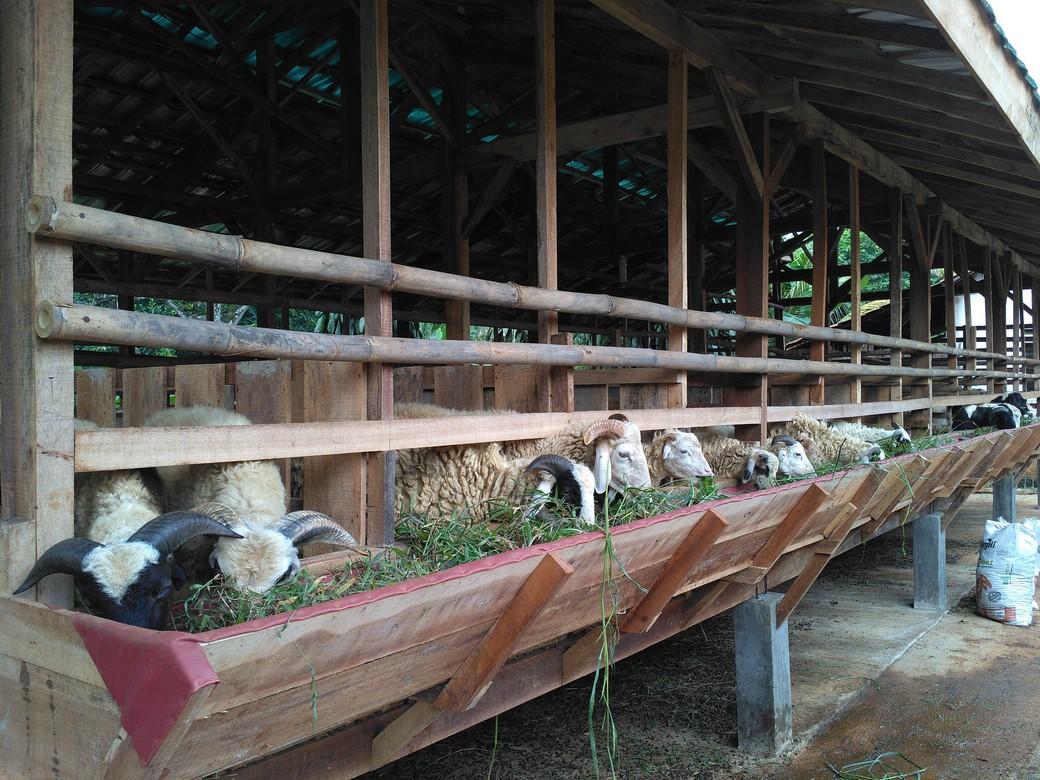 Jual beli kambing online murah bergaransi di Manggarai Jakarta hubungi 0895-2186-8651