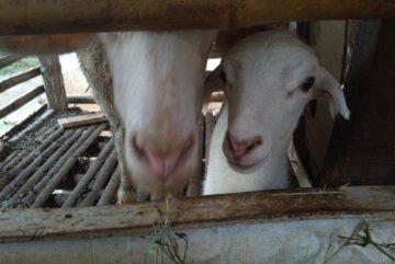 Jual kambing aqiqah murah bergaransi di MampangDepok hubungi 0895-2186-8651