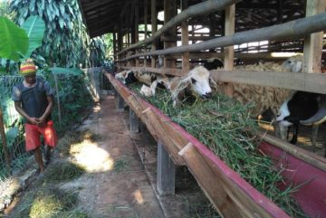 Kambing domba super murah berkualitas di Kuningan Barat Jakarta hubungi 0895-2186-8651