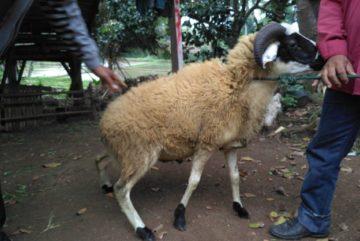 Ternak kambing domba murah bergaransi di Kuningan Timur Jakarta hubungi 0895-2186-8651