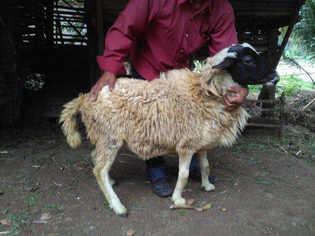 Harga kambing domba murah bergaransi di Lebak Bulus Jakarta hubungi 0895-2186-8651
