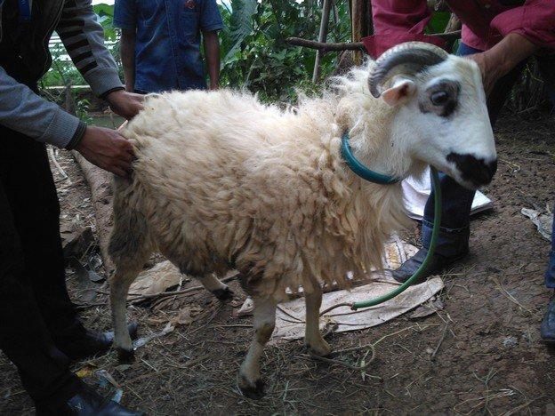 Jual kambing murah berkualitas siap kirim di Lenteng Agung Jakarta hubungi 0895-2186-8651