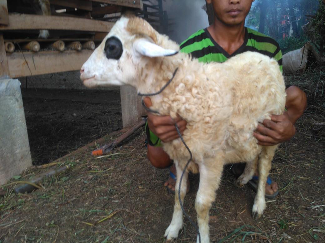 Harga kambing domba super murah berkualitas di Tanahsareal Bogor hubungi 0895-2186-8651