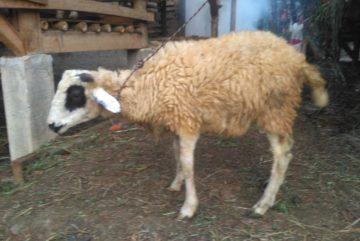 Cari harga paket aqiqah kambing murah di Tanahbaru Bogor hubungi 0895-2186-8651
