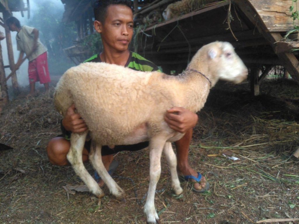 Harga domba murah berkualitas bergaransi kirim ke PondokjayaDepok hubungi 0895-2186-8651