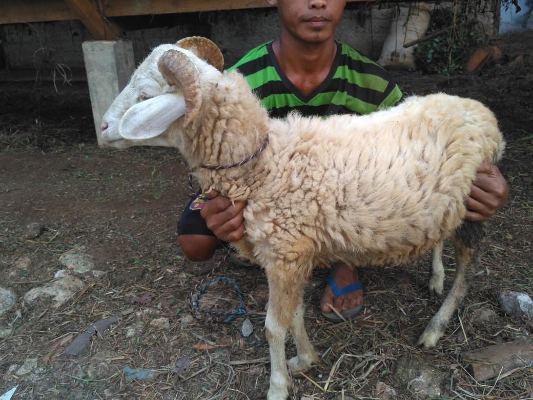 Jual kambing qurban murah bergaransi kirim ke Melawai Jakarta hubungi 0895-2186-8651