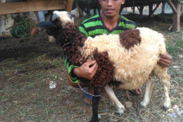 Harga hewan qurban murah bergaransi kirim ke Cipayung Jaya Depok hubungi 0895-2186-8651