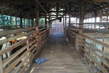 Jual beli kambing murah berkualitas bergaransi kirim ke Menteng Dalam Jakarta hubungi 0895-2186-8651