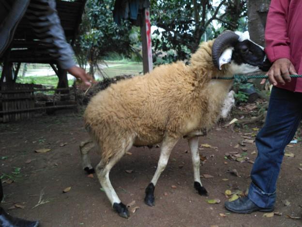 Peternakan kambing murah bergaransi kirim ke Menteng Atas Jakarta hubungi 0895-2186-8651