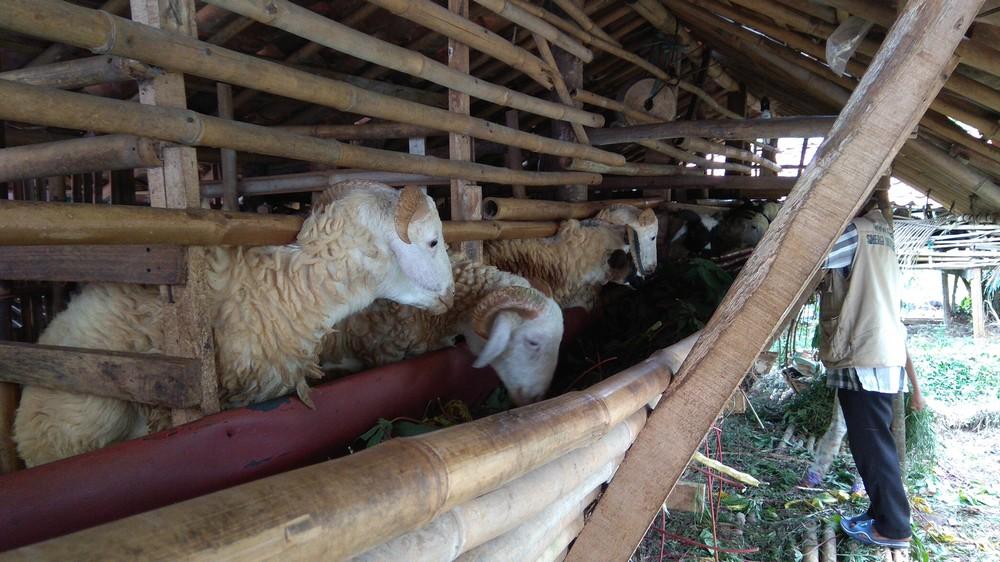 hewan qurban 2018 kirim ke CisalakDepok hubungi 0895-2186-8651