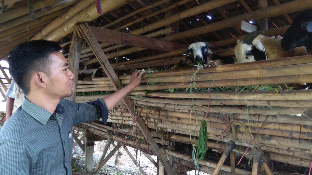 harga domba qurban 2018 kirim ke SukamajuDepok hubungi 0895-2186-8651