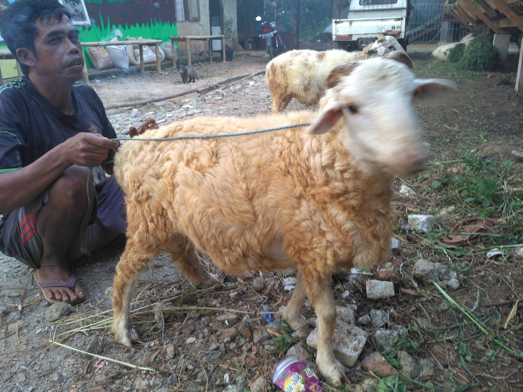 jual kambing qurban kirim ke Jurang Mangu Barat Tangsel hubungi 0895-2186-8651