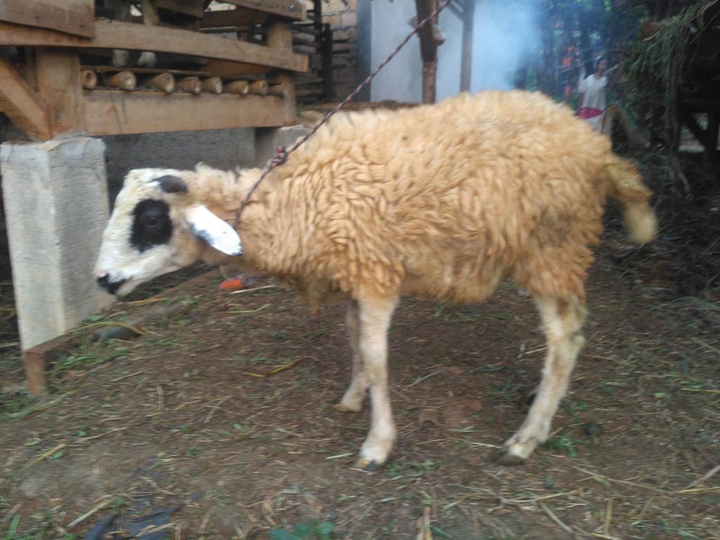 harga hewan kurban kirim ke Perigi Lama Tangsel hubungi 0895-2186-8651