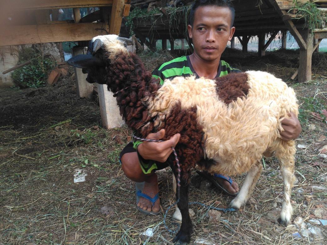 jual kambing qurban 2018 kirim ke Pondok Betung Tangsel hubungi 0895-2186-8651