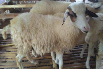 Jual kambing Cileungsi Murah bergaransi