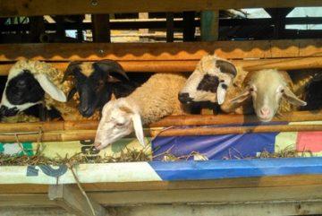 Penjual kambing aqiqah Jakarta Utara
