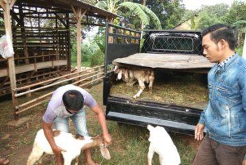 Penjual kambing aqiqah Jakarta Selatan 1