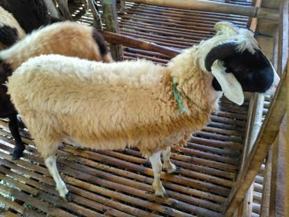 Jual kambing Ciputat eceran grosir