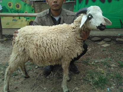 Jual kambing Jakarta Selatan siap antar hub 089521868651