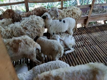 Jual kambing Jakarta Timur Bisa COD hubungi 089521868651