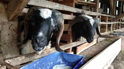 Jual kambing Jakarta murah siap antar