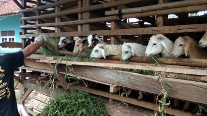 Jual kambing daerah Bogor murah terjamin