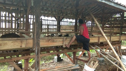 Jual kambing di Bogor grosir eceran
