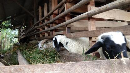 Kami jual kambing aqiqah Bogor hubungi 089521868651