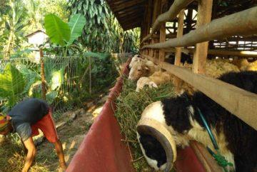 Jual kambing Jakarta Selatan siap antar hub 089521868651 1